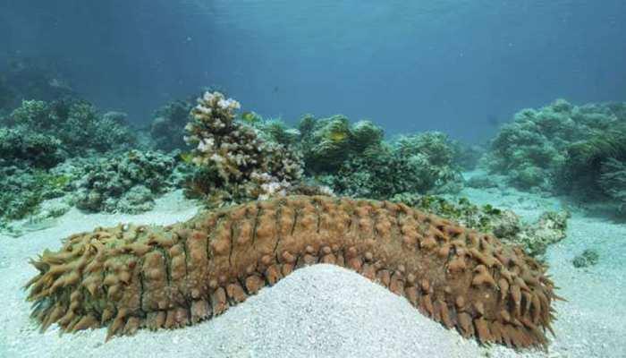 CBI ने Sea Cucumber की तस्करी करने वाले चार लोगों को पकड़ा, बड़े गिरोह के शामिल होने का शक