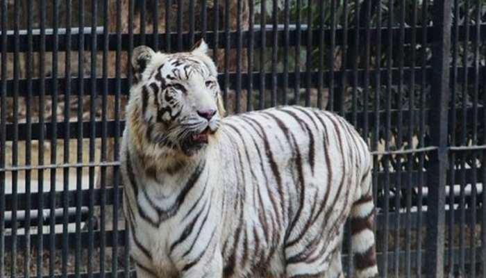 क्या दिल्ली के चिड़ियाघर में सफेद बाघिन की मौत की कोरोना से हुई थी? जानिए पूरा मामला