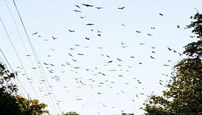 रतलाम के निगम चौराहे पर लगा चमगादड़ों का हुजूम, लोगों में घबराहट