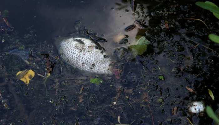 नदी में कई टन मछलियां मरी हुई मिलीं, रिफाइनरी में हुए रिसाव के बाद हुआ ये हादसा!