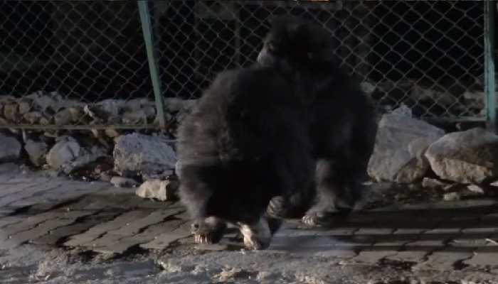 इंसानों की हलचल कम हुई तो यहां शहर में घूमने निकले भालू