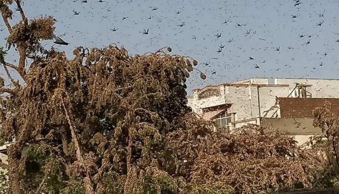 जयपुर में टिड्डियों का अटैक, टिड्डी आक्रमित जिला घोषित, अधिसूचना जारी