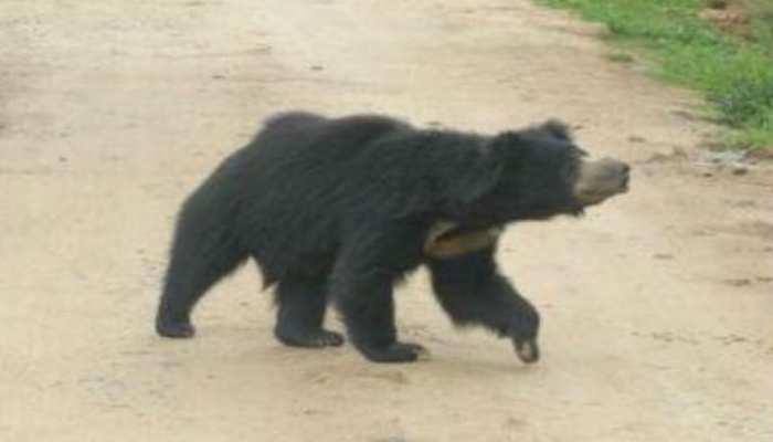 बिहार: बगहा में जंगली भालू ने किसान को किया जख्मी, ग्रामीणों ने बचाई जान