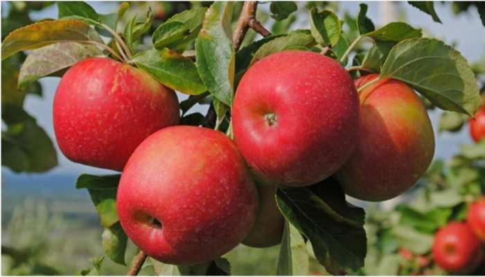 कश्मीर और शिमला के सेबों से मन भर गया हो तो प्रयागराज के सेब खाकर देखिए...