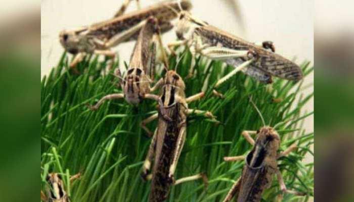 दौसा में टिड्डियों का 7वीं बार हमला, किसानों के माथे पर छाई चिंता की लकीर