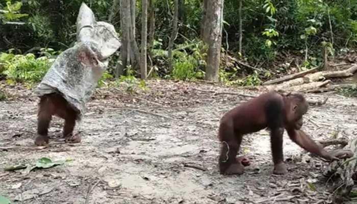'दो भाइयों के बीच का प्रैंक', दो वनमानुष को ऐसे लड़ता देख बोल पड़े लोग, देखें Funny Video