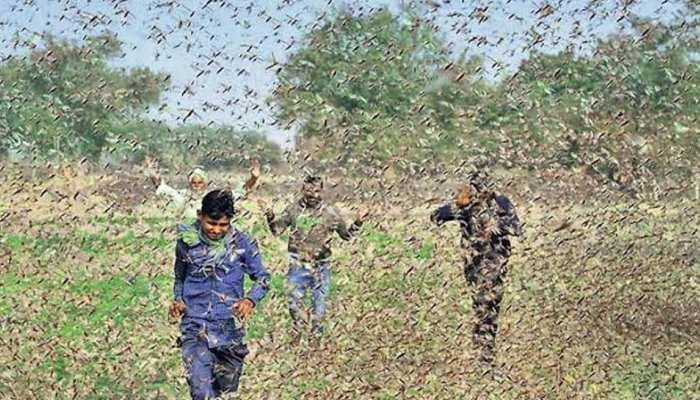 अलवर: टिड्डियों के 'आतंक' से किसान परेशान, लोगों ने थाली बचाकर किया भगाने का प्रयास
