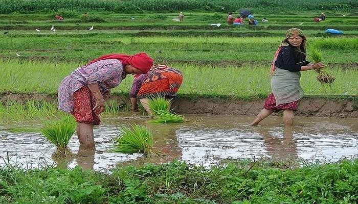 उत्तराखंड में इस बार धान रोपाई में अलग ही है रौनक, लौटे प्रवासियों से गुलजार हैं खेत
