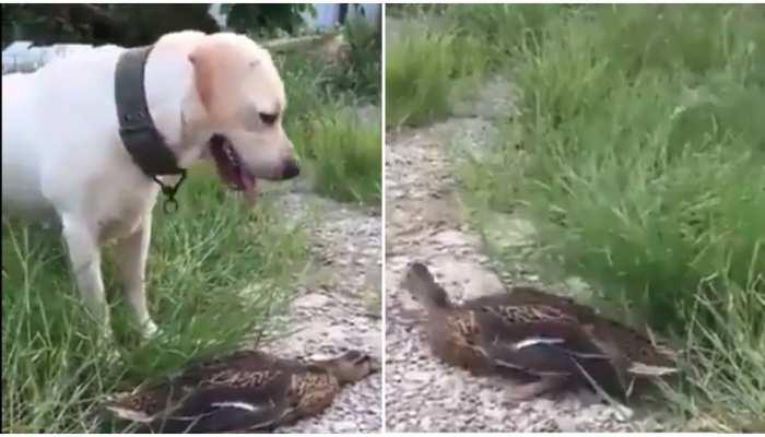 फिल्मों के एक्टर से कम नहीं है इस जानवर की एक्टिंग, देखिए खास वीडियो