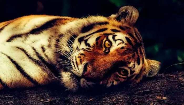 कोटा में बाघ की हुई रहस्यम तरीके से मौत, वन विभाग बोला...