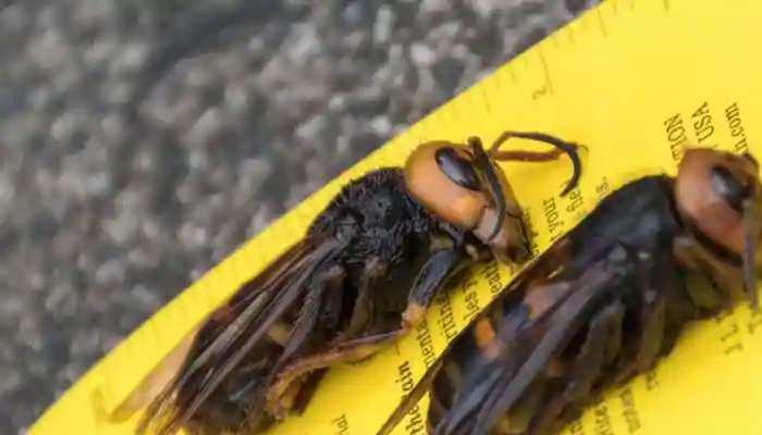 वाशिंगटन में निशाने पर आया ये कीड़ा, मधुमक्खी पालकों को मिलेगी राहत!