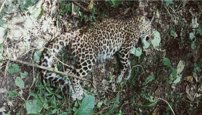 बगहा: बाघ और तेंदुआ की जोरदार भिड़ंत, खतरनाक मोड़ पर खत्म हुई लड़ाई