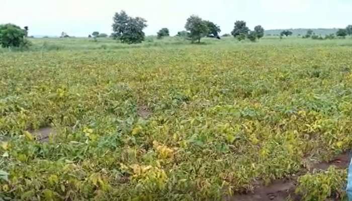 बर्बाद हुई किसानों की मेहनत, सोयाबीन की फसल बन रही मवेशियों का चारा