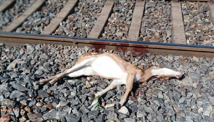झारखंड: केचकी रेलवे स्टेशन के पास ट्रेन की टक्कर से 5 हिरणों की मौत