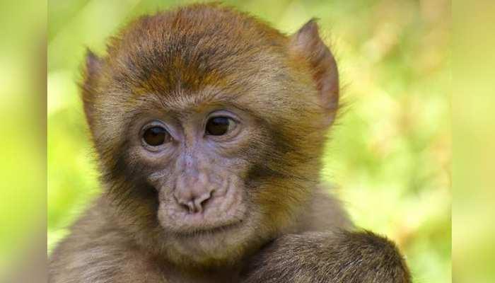 एक लापता बंदर की हो रही तलाश, खोजने वाले को मिलेंगे 50 हजार