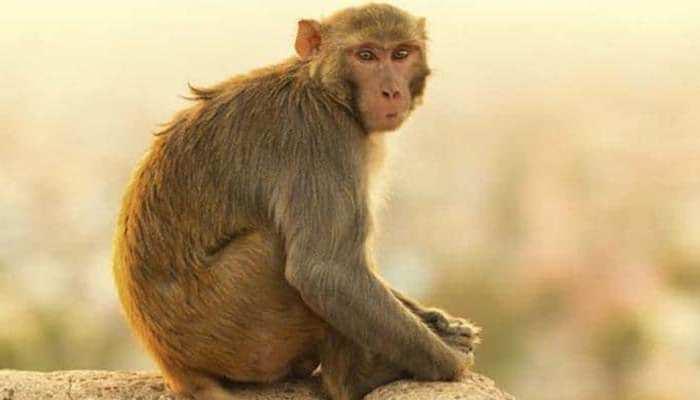 गुमशुदा बंदर की तलाश में लगा है फॉरेस्ट डिपार्टमेंट, ढूंढने वाले को मिलेंगे 50 हज़ार रुपये