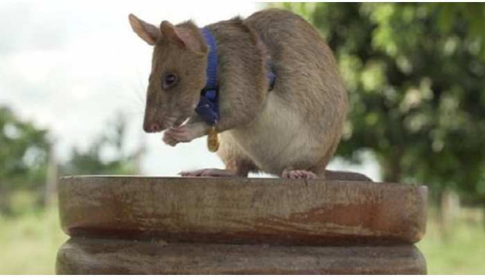 इस चूहे को मिला बहादुरी के लिए 'गोल्ड मेडल', जानिए इसने ऐसा क्या किया