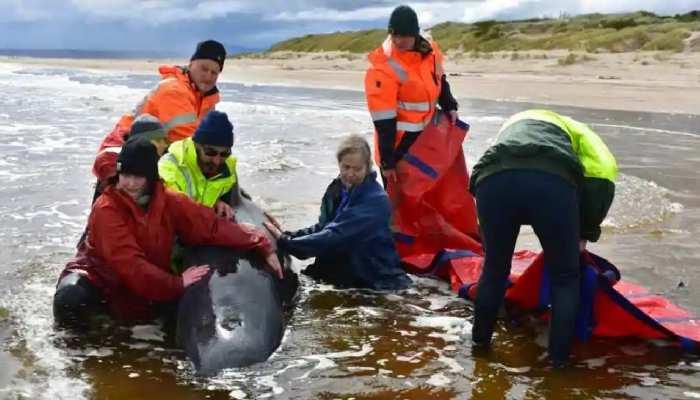 सैकड़ों शवों के बीच जिंदा मिली एक Whale, रेत के टीले पर इतने दिन तक रही जीवित