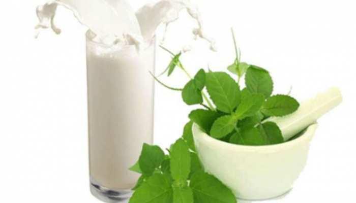 माइग्रेन से लेकर डिप्रेशन तक में असरदार तुलसी के पत्ते, बस ऐसे दूध के साथ करें सेवन