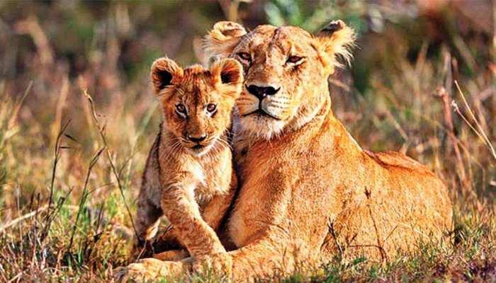 Video: गीर नेशनल पार्क के गार्ड ने मांगी शेर से मदद, जानें फिर जंगल के राजा ने क्या किया...