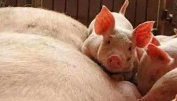 एक और वायरस! दक्षिण कोरिया में ढूंढ-ढूंढ कर मारे जा रहे हजारों सूअर