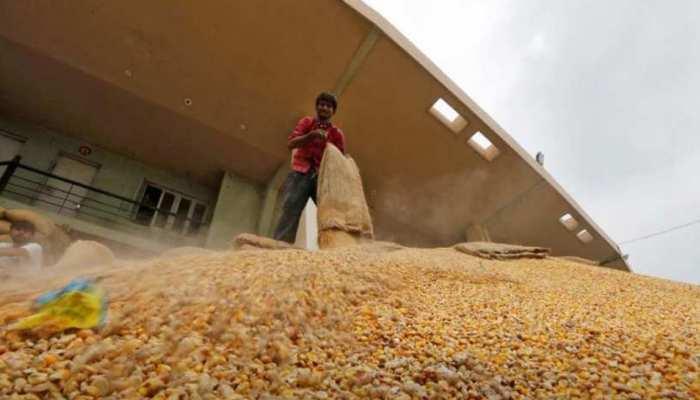 नहीं मिल रहा किसानों को तय समर्थन मूल्य, आधी कीमत पर बिक रहा मक्का