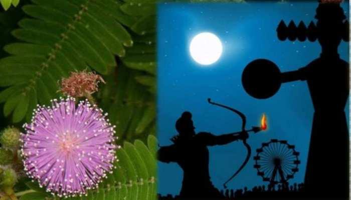 Vijayadashmi Special: क्यों करते हैं दशहरे के दिन शमी वृक्ष की पूजा, यहां जानिए