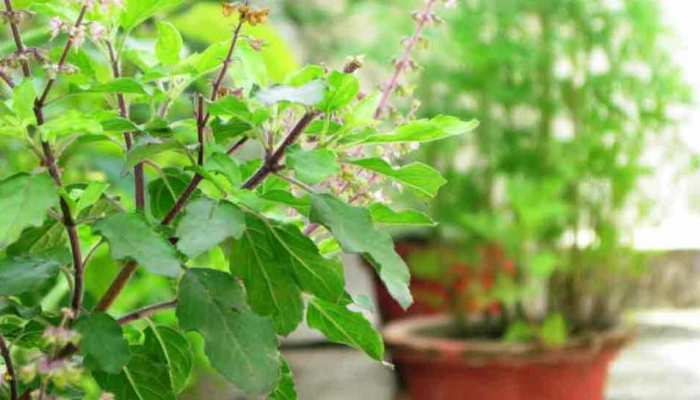Disadvantages of eating basil tulsi leaves know about it