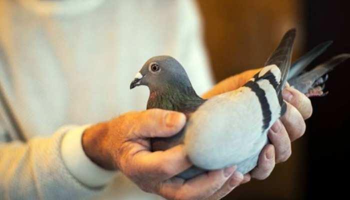 करोड़ों में है इस कबूतर की कीमत, खासियत जानकर रह जाएंगे दंग