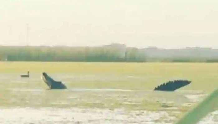 फ्लोरिडा में दिखा डायनासोर जितना बड़ा Alligator, वीडियो वायरल