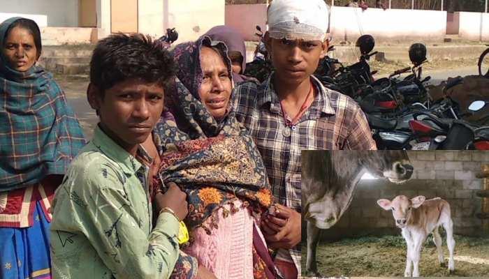 man killed in sonbhadra Robertsganj due to enter of cow calf in khalihan dvup