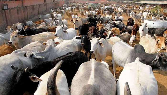 ठंड में जूट के कोट पहनेंगी UP की गायें, सर्दी से बचाने के लिए योगी सरकार का कदम