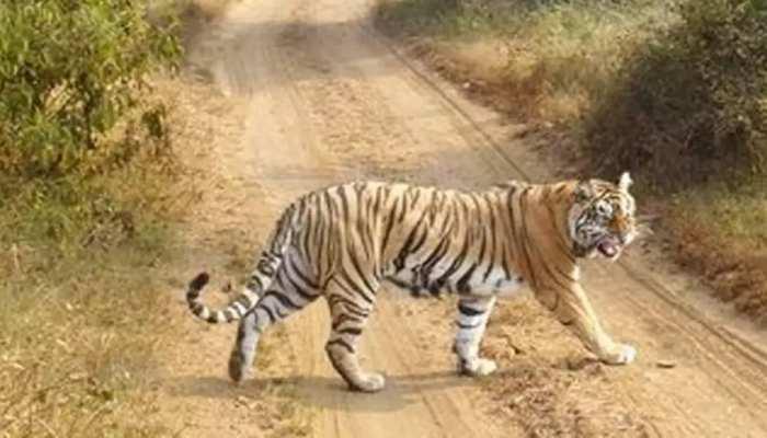 Sawai Madhopur: खेतों में पानी दे रहे युवक पर Tiger का हमला, गंभीर घायल
