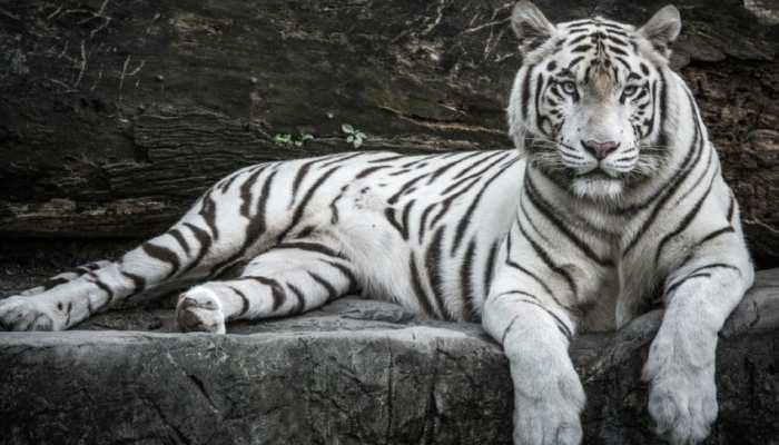 White Tiger 'गोपी' की मौत से वन विभाग में हड़कंप, पोस्टमार्टम के बाद साफ होगी वजह