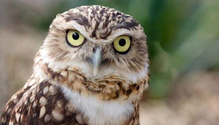 अगर आस-पास दिखे Owl तो हो जाएं सावधान, देते हैं शुभ-अशुभ संकेत