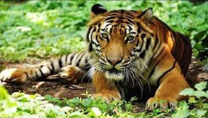MP के मुकुंदपुर व्हाइट सफारी में एक और बाघ की मौत, सामने आई ये बड़ी लापरवाही
