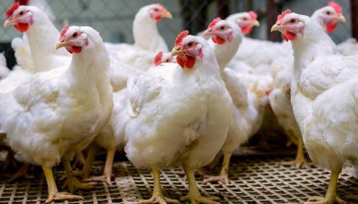 MP में केरल व आसपास के राज्यों से पोल्ट्री लाने पर रोक, इंसानों में तेजी से फैलता है Bird Flu, सतर्क रहें