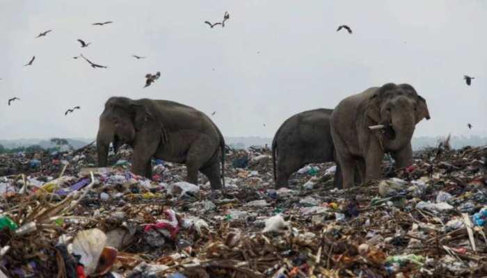 Viral Photo: कूड़ा-कचरा खाने को मजबूर हाथी, तस्वीर देख लोगों की आंखें हुईं नम
