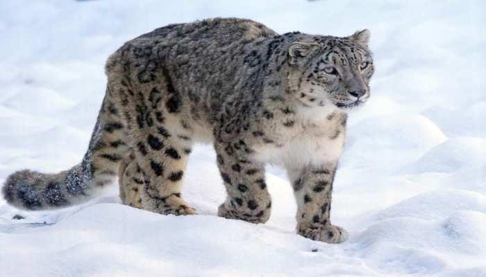 अब Tourist कर सकेंगे Snow Leopard के दीदार, उत्तराखंड में शुरू होगा 'Snow Leopard Tour'