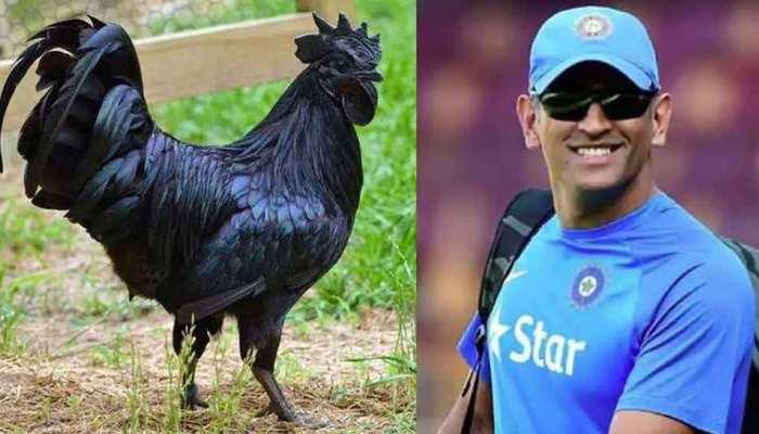 madhya pradesh bird flu 2500 kadaknath chicken dies ms dhoni poultry firm
