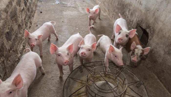 MP में विदेशी सुअर का मांस बेच रही सरकार, भोपाल में खुला पहला आउटलेट, होम डिलेवरी की सुविधा भी