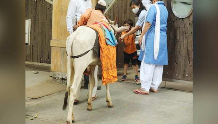 गौ सेवा करते नजर आए तैमूर अली खान, घर के बाहर आई गाय को खिलाया चारा