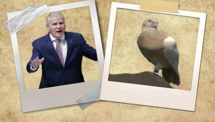 ऑस्ट्रेलिया और अमेरिका के रिश्तों के बीच तनाव बने कबूतर को गंवानी पड़ सकती है जान