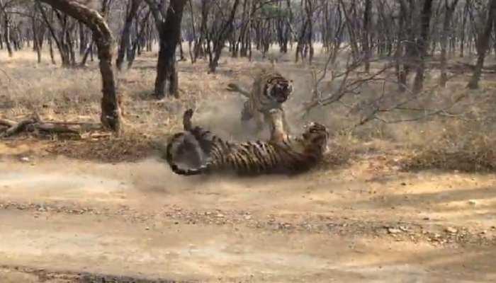 Ranthambore में फिर हुई दो टाइगर्स के Fight, पर्यटकों ने बनाये Video