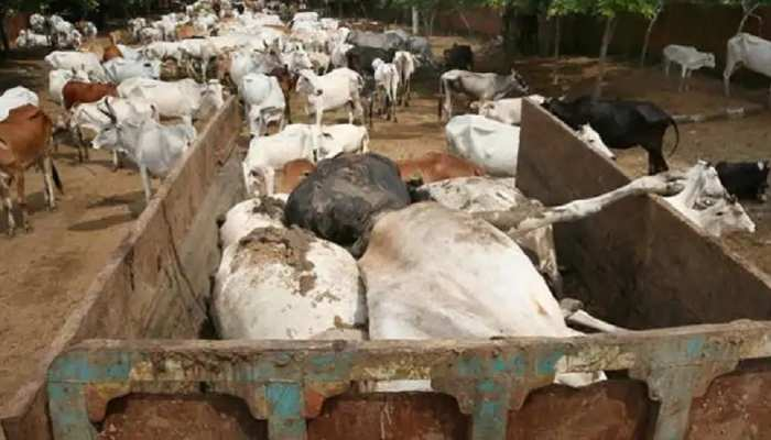 Rajasthan: गोवंश से भरा ट्रोला गया पकड़ा, आधा दर्ज से अधिक का मिला शव