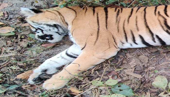 Valmiki Tiger Reserve में  बाघ मौत मामले की जांच शुरू, Dog Squad की ली जा रही मदद