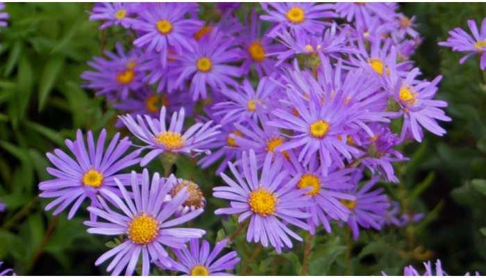 Viral: Aster फूल की फोटो को भारत से रोजाना मिल रहे हैं 90 Million लाइक्स, Tiktok Ban से जुड़ा है मामला