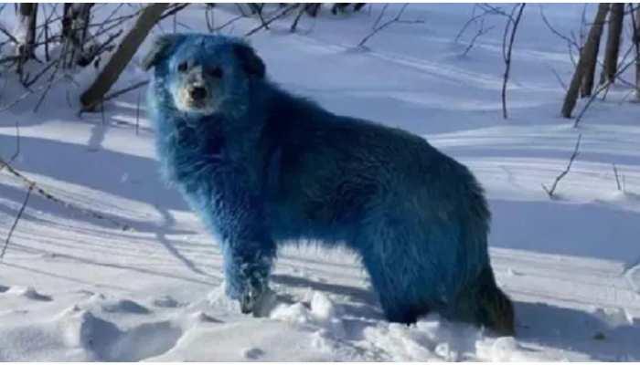Russia में नजर आया नीले रंग के कुत्तों का झुंड, आखिर कौन है उनकी इस हालत का जिम्मेदार?