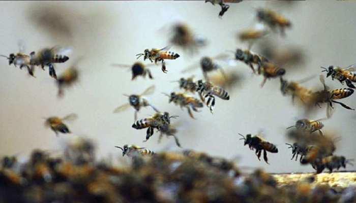 Ajmer Samachar: अंतिम संस्कार में शामिल हुए लोगों पर मधुमक्खियों का हमला, घायलों की संख्या 40