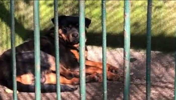 Chinese Zoo में Wolf के पिंजरे में बैठा रखा था Dog, विजिटर ने ऐसे खोली पोल